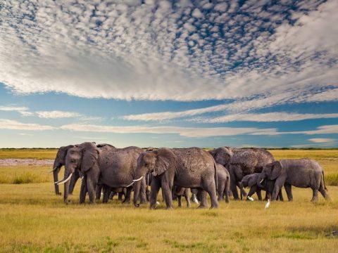 Ε - Αγέλη ελεφάντων στην αφρικανική σαβάνα