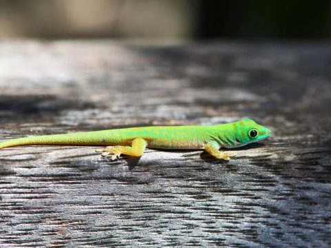 Γ - Γκέκο σε δάσος στις Σεϋχέλλες
