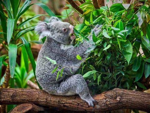 Κ- Κοάλα τρώει φύλλα