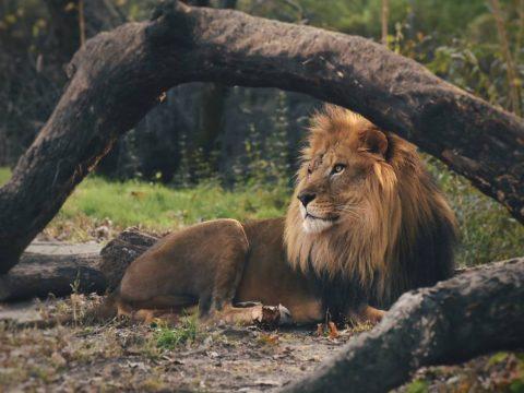 Λ - Λιοντάρι ξεκουράζεται