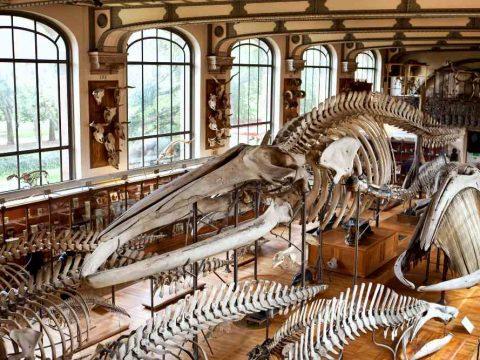 Δ - Σκελετοί δεινοσαύρων στο Μουσείο Εθνολογίας στο Παρίσι